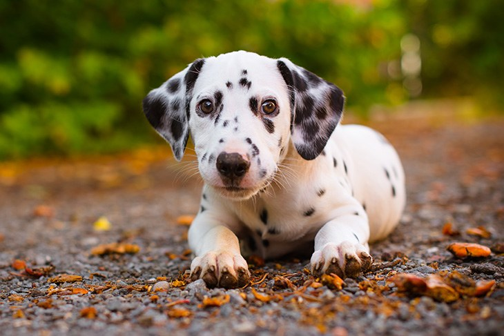 Manage All These Elements Before Buying Dalmatian Puppies As Your Family Dog